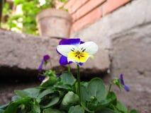 Pansé con il fiore conservato in vaso in giardino immagine stock libera da diritti