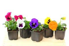 Pansé della viola in vaso fotografia stock