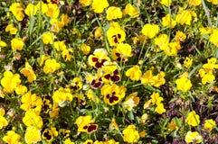 Pansé gialla sul prato Fotografia Stock Libera da Diritti