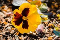 Pansé gialla vibrante in fioritura a Frederik Meijer Gardens fotografia stock libera da diritti