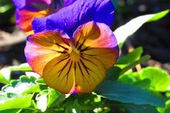 Pansé giallastra con i petali porpora alla luce solare di mattina fotografia stock libera da diritti