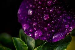 Pansé viola coperta nelle gocce di pioggia Fotografia Stock