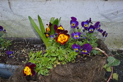 Pansey blommor Arkivbilder