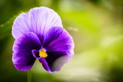 Pansie royalty free stock photos
