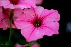 Pansie rosado imagen de archivo libre de regalías