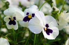pansies λευκό Στοκ Φωτογραφία