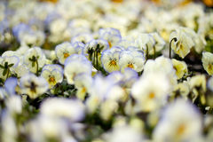 pansies λευκό Στοκ Εικόνες