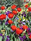 pansies κόκκινες τουλίπες στοκ εικόνες