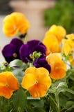 pansies πορφυρός κίτρινος Στοκ Εικόνες