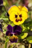 pansies πορφυρός κίτρινος Στοκ Εικόνα