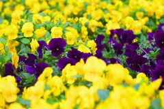 pansies πορφυρός κίτρινος Στοκ Φωτογραφίες