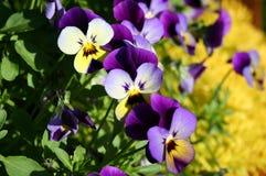 pansies πορφύρα Στοκ Εικόνες
