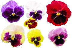 Pansies που απομονώνεται στο άσπρο υπόβαθρο Κόκκινη μπλε κίτρινη μακρο κινηματογράφηση σε πρώτο πλάνο tricolor Viola Στοκ φωτογραφία με δικαίωμα ελεύθερης χρήσης