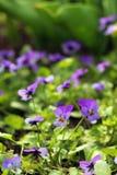 Pansies - όμορφα και λεπτά λουλούδια Στοκ φωτογραφίες με δικαίωμα ελεύθερης χρήσης