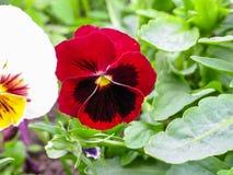Pansies Виолы tricolor красные голубые желтые на зеленом крупном плане макроса flowerbed Стоковое фото RF
