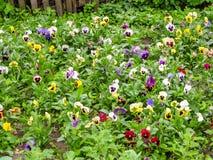 Pansies Виолы tricolor красные голубые желтые на зеленом крупном плане макроса flowerbed Стоковые Изображения RF
