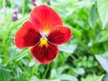Pansies Виолы tricolor красные голубые желтые на зеленом крупном плане макроса flowerbed Стоковое Изображение