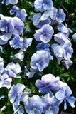 Pansies в оттенках сини стоковое изображение