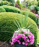 Pansies в реальном маштабе времени растя в саде Стоковая Фотография RF