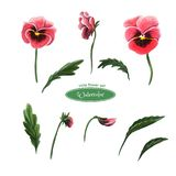 Pansies, головы цветка, листья, бутоны r иллюстрация штока