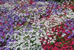 pansies поля Стоковые Фото