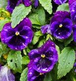 pansies пурпуровые Стоковое Изображение RF