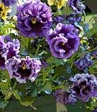 Pansies раздражанные пурпуром Стоковая Фотография RF