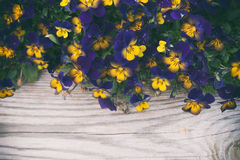 Pansies сада стоковые изображения rf