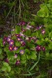 Pansies фиолетов в траве стоковые фотографии rf