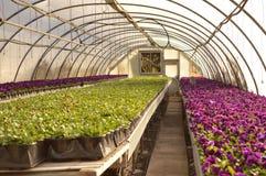 pansies Fotos de Stock