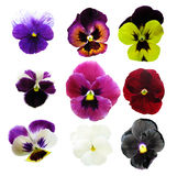 Pansies. Collection of flowers isolated on white Royalty Free Stock Image