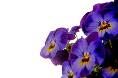 Pansies. Purple pansies before white background Royalty Free Stock Images