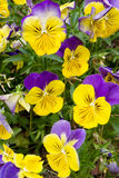 pansies Obrazy Stock