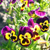 Pansies. Bright lilac and yellow pansies Stock Photo