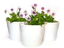Pansies. In white containers on white backgrounds (viola tricolor Stock Photography