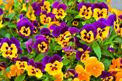 Pansies. Flowers pansies lifted head and look at people - suddenly fit a girl named Annie Stock Photo