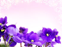 Pansies. On a purple background Stock Photography