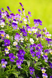 Pansies. Flowering purple pansies in the garden as floral background Stock Photos