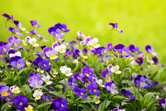 Pansies. Flowering purple pansies in the garden as floral background Stock Photography