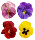 pansies Obraz Stock