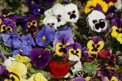 Pansies Royalty-vrije Stock Foto