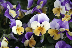 Pansies Fotografia de Stock