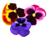 Pansies. Some pansies ower white isolated Stock Photos