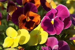 Pansies. Flower-bed of colorful pansies Royalty Free Stock Image