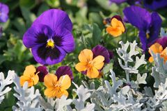 Pansies. In a spring garden Royalty Free Stock Image