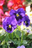 Pansies. In a spring garden Royalty Free Stock Images