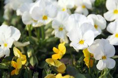 Pansies. In a spring garden Stock Image