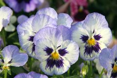 Pansies. In a spring garden Royalty Free Stock Photography