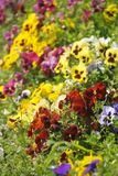 Pansies. In a spring garden Royalty Free Stock Photo