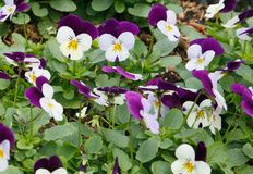 pansies Foto de Stock Royalty Free